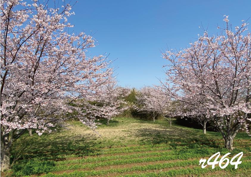 成田空港周辺の桜が見頃です